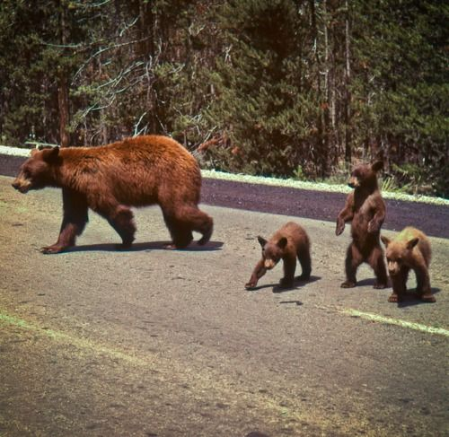 Mother Bear and her Cubs - This is how I like to see bears in the wild, in my car and at a safe distance.