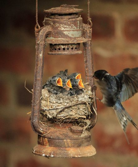 Four hungry swallow chicks wait open-mouthed for their parents to bring the next meal back to their nest - made in an old storm lantern.The mum and dad swallows set up home in the rusty old lamp last month and shortly after four chirping chicks were hatched.But the young family faced a race against time - because the chicks needed to be big and strong enough to join the rest of the Swallows which will fly south to warmer climes when the British autumn arrives.Thanks to a spell of fine ...