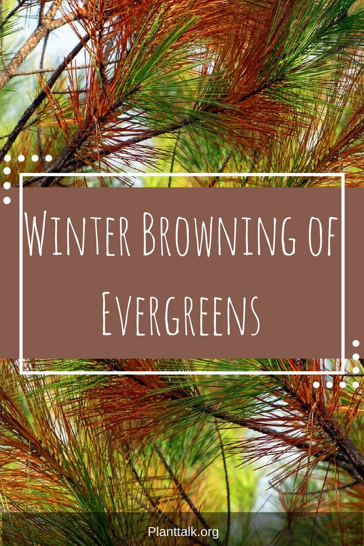 Why are your Evergreens browning? Here's the answer.