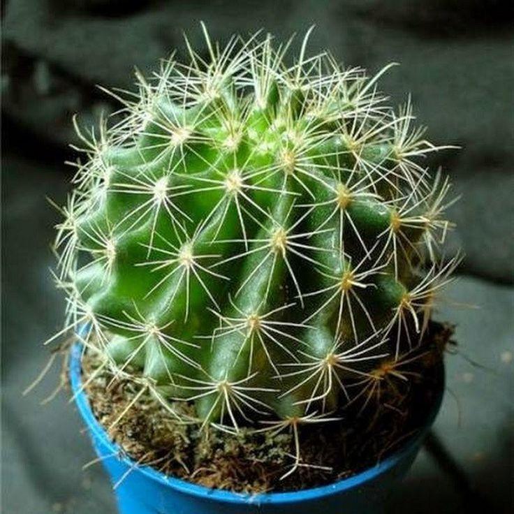 Kaktusy patria do čeľade trvalo kvitnúcich rastlín. Vedia vyrásť do rôznych veľkostí, v závislosti od druhu a tvaru listov – tŕňov. Pochádzajú z Ameriky a do Európy sa dostali až v 16. storočí. Vše…