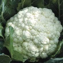 Growing Cauliflower from Seeds / transplants
