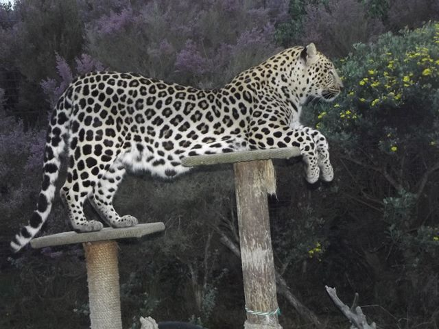 Leopards are capable of breeding between 2 and 3 years and produce 1 - 3 cubs after a 90-100 day gestation. The cubs become independent between 13 - 18 months and siblings may remain together for several months before separating. Females in captivity have produced offspring as old as 19 years, but the average age of last reproduction is 8.5 years.
