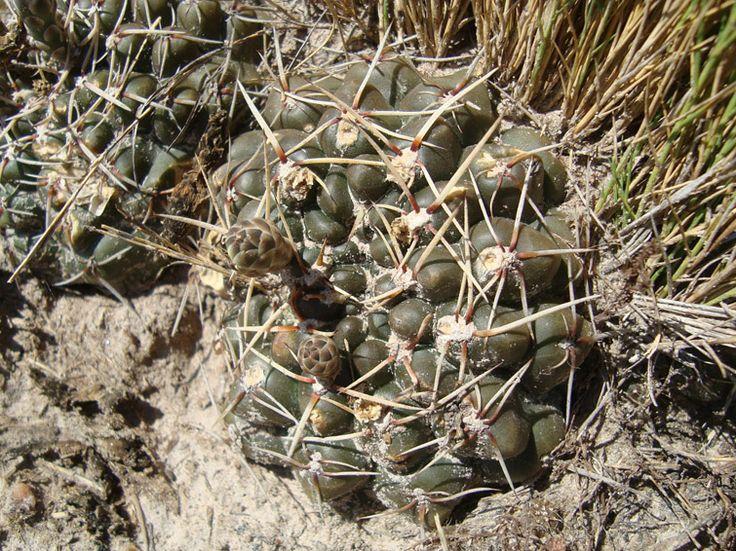 schroederianum ssp schroederianum