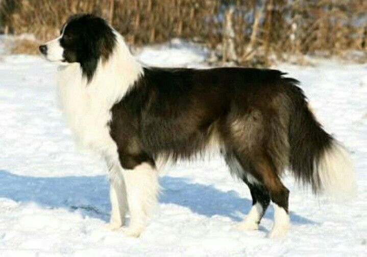 Seal And White Border Collie Bicolor Dog Seal Ghost Sable Collie Caes De Caca Caes