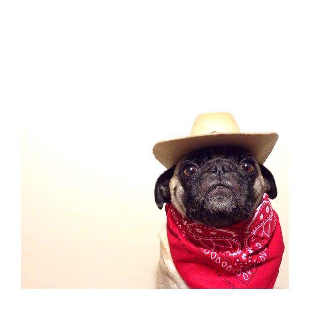 Cowboy Pug Kingston