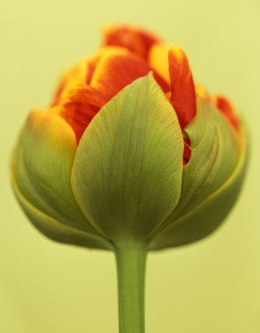"""""""The Tulip Anthology"""" by Ron van Dongen's"""