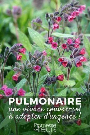 Pulmonaire : une vivace couvre-sol à adopter d'urgence !