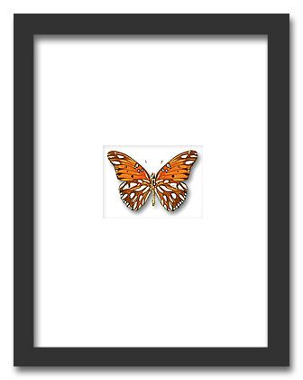 Insectframes.com - Framed butterflies, beetles and insect displays - Dione moneta