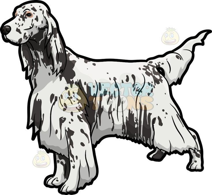 An English Setter show dog :  A dog with white long fur and dark grayish spotty face and droopy ears looking ready for a dog pageant  The post An English Setter show dog appeared first on VectorToons.com.