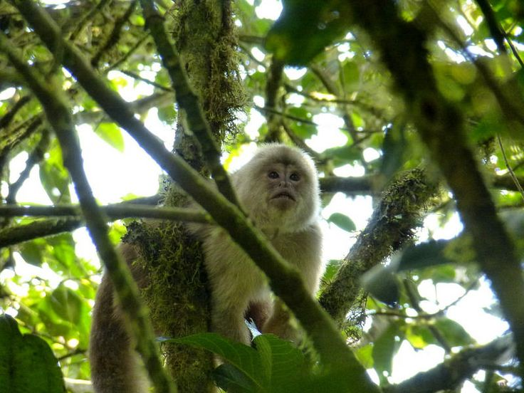Ecuadorian white-fronted Capuchin(Cebus albifrons aequatorialis) photographed by Andreas Kay from Nambillo Biological Station, Mindo, Ecuador on 20th December 2014.