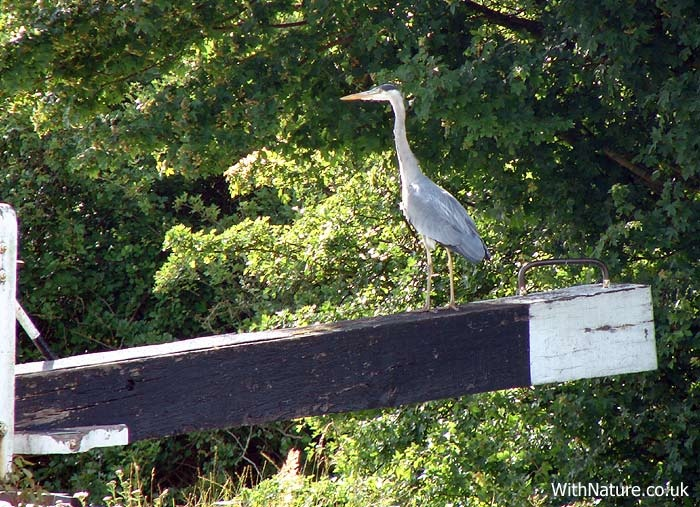 Heron on a lock gate ~ Aylesbury canal