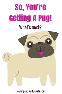 So, you're getting a pug! Here's what's next. Including what you need to buy and what you can expect.