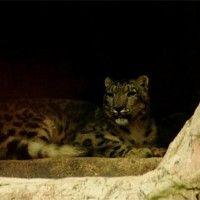 Donan leopardo de las nieves a Zoológico de Chapultepec