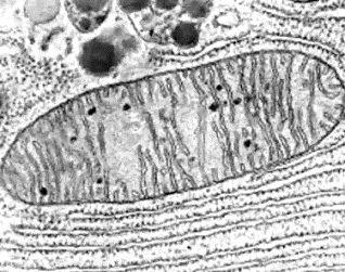 Mitocondria real vista con microscopio electrónico
