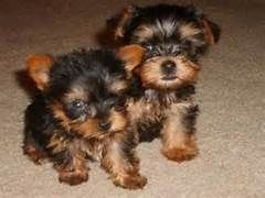 iresistable male and female Teacup Yorkie Puppies for adoption ...
