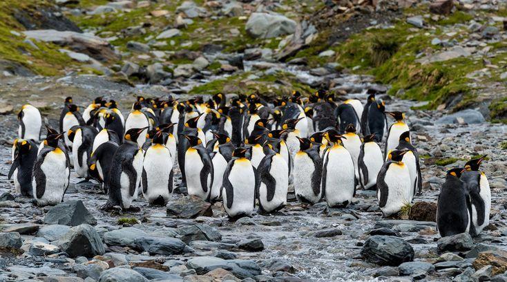 Falkland and South Georgia Islands with Antarctic Peninsula: https://www.polarholidays.com/location/falkland-and-south-georgia-islands/  #antarctica #polarholidays #adventure #sailing #antarcticcruise #touroperator #booking #tour #Arctic #journey #travel #authentictravel #wildlife #Gentoopenguins #penguin