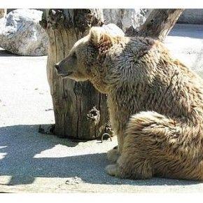 E' giunta ad una svolta la travagliata vita dell'orsa Alice, esemplare di oltre 30 anni di età, arrivata clandestinamente in Italia nel 1980 e sballottata da strutture circensi al recinto nel giardino di un albergo-ristorante del trevigiano, dove è stata sequestrata dal Corpo forestale dello Stato. Divenuta nel tempo un'attrazione per i visitatori, Alice era […]