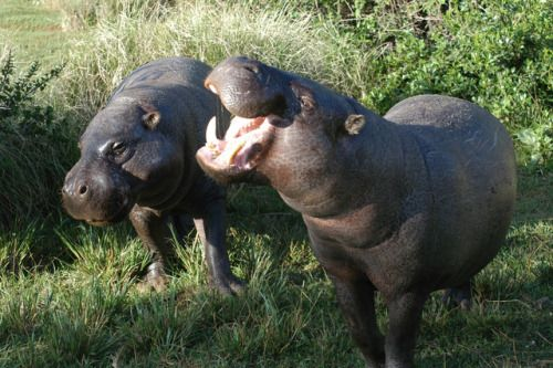Pygmy Hippo- Today there are less than 2,500pygmy hipposremaining in the world. The main threat pygmy hippos face is loss of habitat caused by rainforest destruction and an inconsistency in government enforced protection of national parks.
