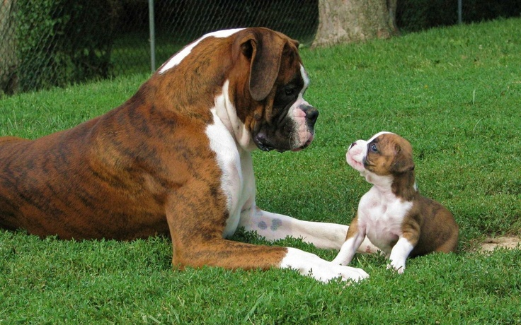 giving advice ~ father to son   *St. Bernards ~ but aren't they furry?  Boxer Bulldog??