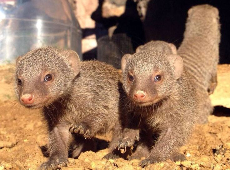 Our banded mongoose babies are growing up! One of our keepers captured this shot and we had to share because it's so stinkin' adorable. http://www.pinterest.com/TakeCouponss/houston-zoo-coupons/ Houston zoo coupons