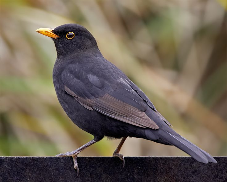 Common blackbird (Turdus merula) | Oxford; Selcuk, Turkey