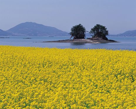 Rape Flowers Field, Samcheonpo, Hallyo Haesang National Park, Sacheon, Gyeongnam, Korea