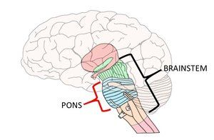 Know your brain: Pons