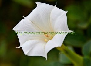 scopolamine, ,scopolamine powder, scopolamine butylbromide, Upright Datura Flower Extract, butylscopolamine bromide, Scopolamine Hydrobromide, Hyoscine Hydrobromide