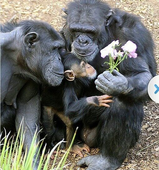 Beautiful photo of chimp family. It actually seems as if they are showing flowers to the baby, except that chimpanzees are not renowned for sharing.