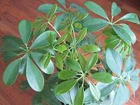 Umbrella plant new leaves