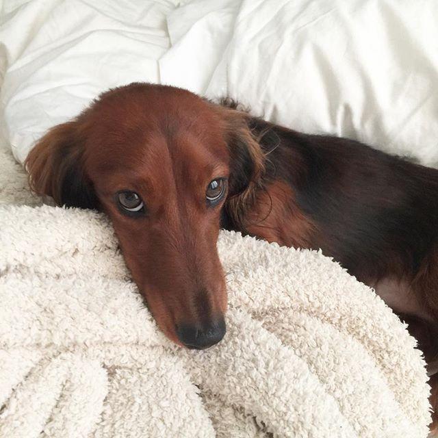 @zoey_siewertofficial thank you for taking care of me! ❤❤❤ . . . . . #ilovemydog #boopmynose #cutedogsofinstagram #pupsofinstagram #dogsofinsta #ミニチュアダックス #愛犬 #犬 #ダックス #doglovers #dachshundsofig #cajunthedachshund #justdachshunds #dachshunds #instapets #barkpost #weeklyfluff #dailyfluff #pawsome #furbaby #vancouverdogs #petsofinstagram #dailydog #longhaireddachshunds #weinerdog #dachshundsofinstagram #justdachshunds #puppysnaps #pawsinvancity #wienerworld