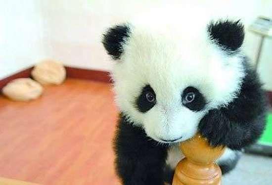 Małe pandy 9