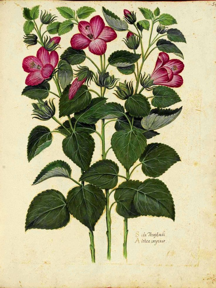 Hibiscus. Botanical illustration, medieval Italy by Ulisse Aldrovandi.
