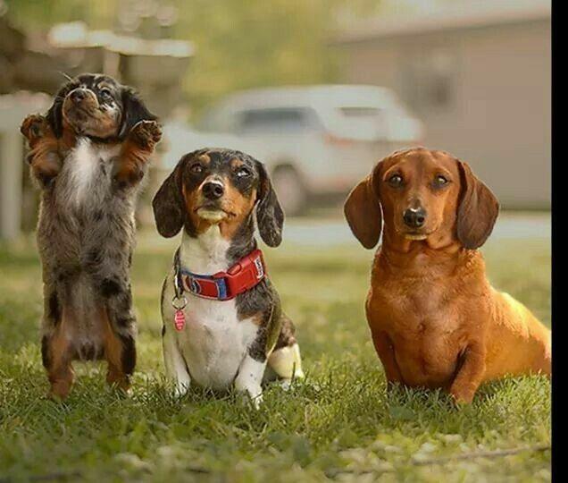 Pick Me Pick Me I Know This One Dachshund Colors Dachshund