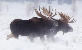 Paul Martin's Jackson Hole Wildlife Photography Safaris, Wyoming – Yellowstone, Grand Teton National Parks Scenic and Wildlife Tours