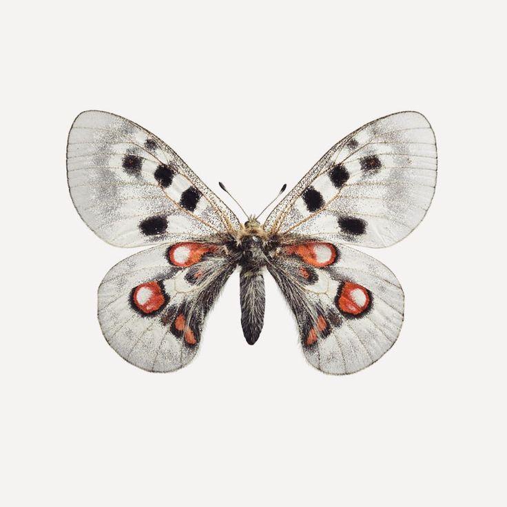 liljebergsApollo butterfly #liljebergs  liljebergs#butterfly#insect#entomology#bugs#moth#nordicdesign#scandinaviandesign#macro#insectphotography#nordicinterior#scandinavianinterior#apollo#macrophotography#swedishdesign#naturalhistory#wallart#walldecor#artwall#print#artprint#naturalis#botanical#taxonomy#microsculpture#biodiversity#animalium#gucci