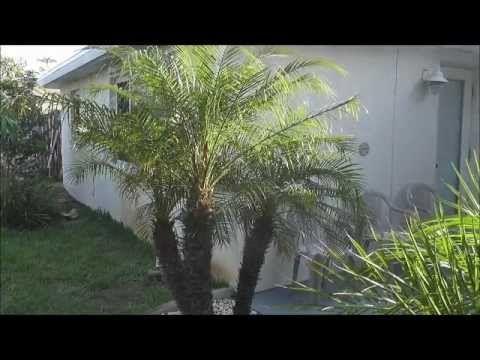 How to Grow Robellini Palms - A Great Dwarf Ornamental Palm Tree