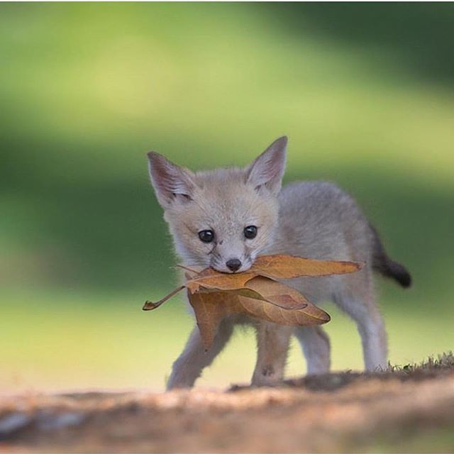 Follow @animaladdicts for more incredible wildlife & animal photos! @animaladdicts San Joaquin kit fox pup at just a few weeks old | Photography by @tinmanlee