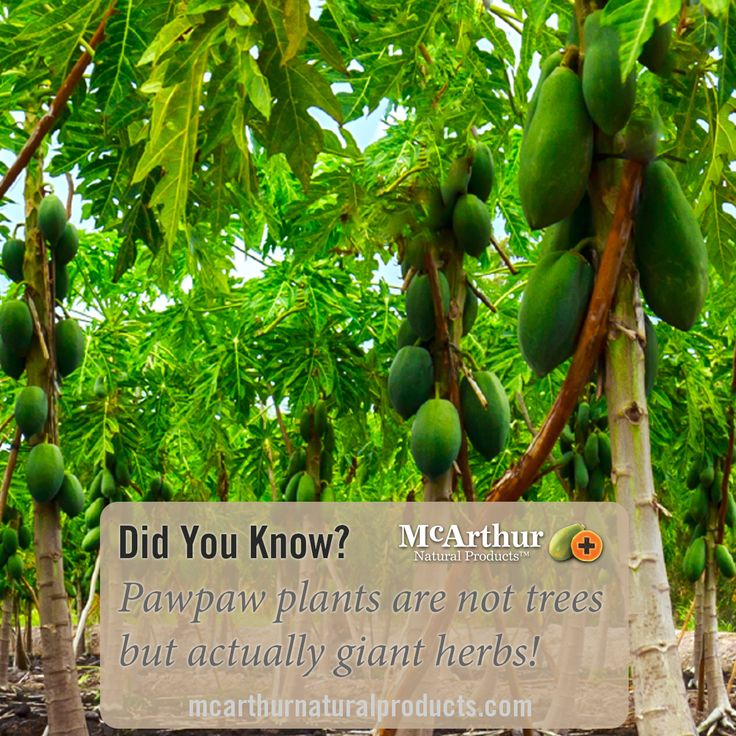 Did You Know?  Pawpaw plants are not trees but actually giant herbs!  #mnp #mcarthurnaturalproducts #pawpaw #papaw #papaya #papain