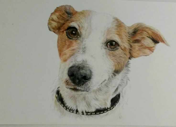 Jack Russel Portrait; Buntstift