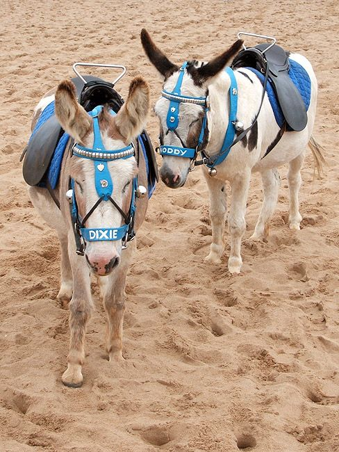 Classic British seaside donkeys in Skegness. I have pictures of my mothers from the 70s with little donkeys tack just like this there :)