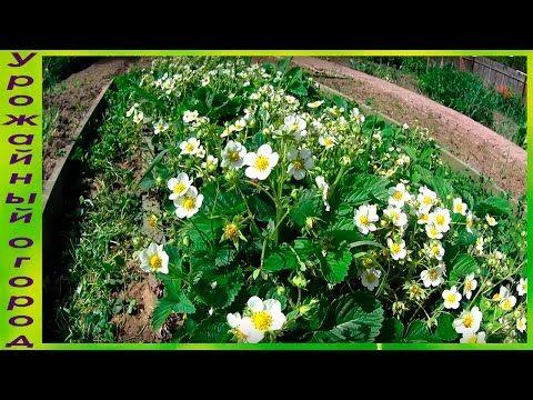 Супер удобрения для урожая клубники