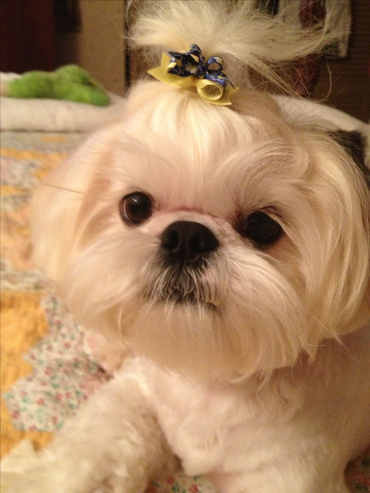 shih tzu pictures of haircuts shih tzu haircut styles pictures hairs picture gallery 3473