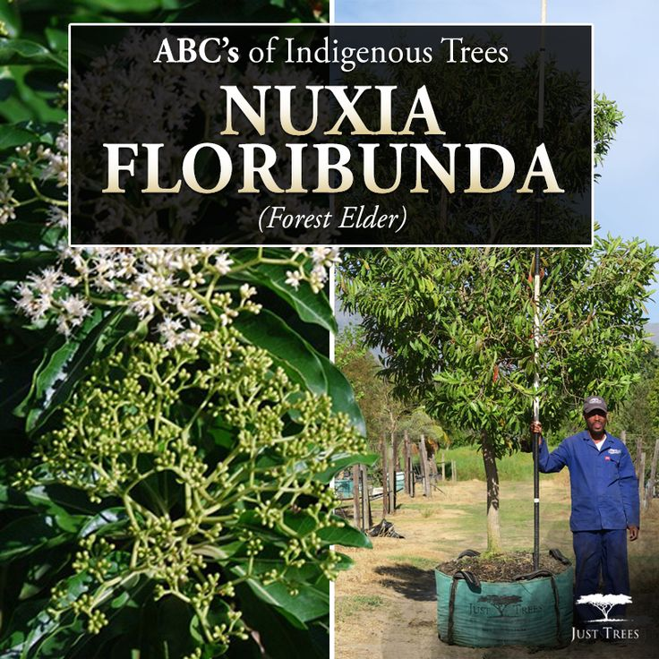 The Nuxia floribunda or Forest Elder tree is an attractive, small to medium sized tree that makes for a lovely garden feature with its beautiful smelling white flowers. As its root system is not at all aggressive, it also works well near pavements, buildings or roadsides.