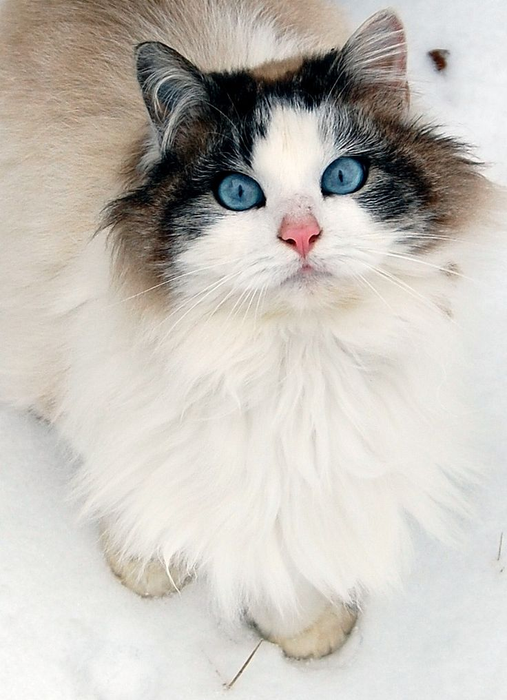 Intense blue eyes, semi long haired cat.  Not sure of breed, but she is a beauty and she knows it!