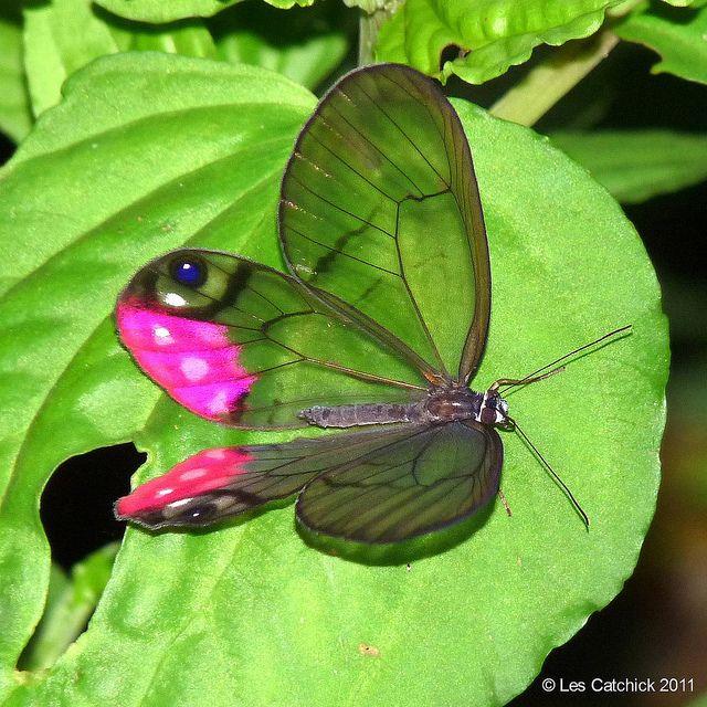 Pink-tipped Satyr: Beautiful Natural, Butterflies Dragonfly, Pinktip Satyr, Butterflies Moth, Awesome Butterflies, Butterflies Cithaeria, Photos Shared, Butterflies Beautiful, Satyr Butterflies