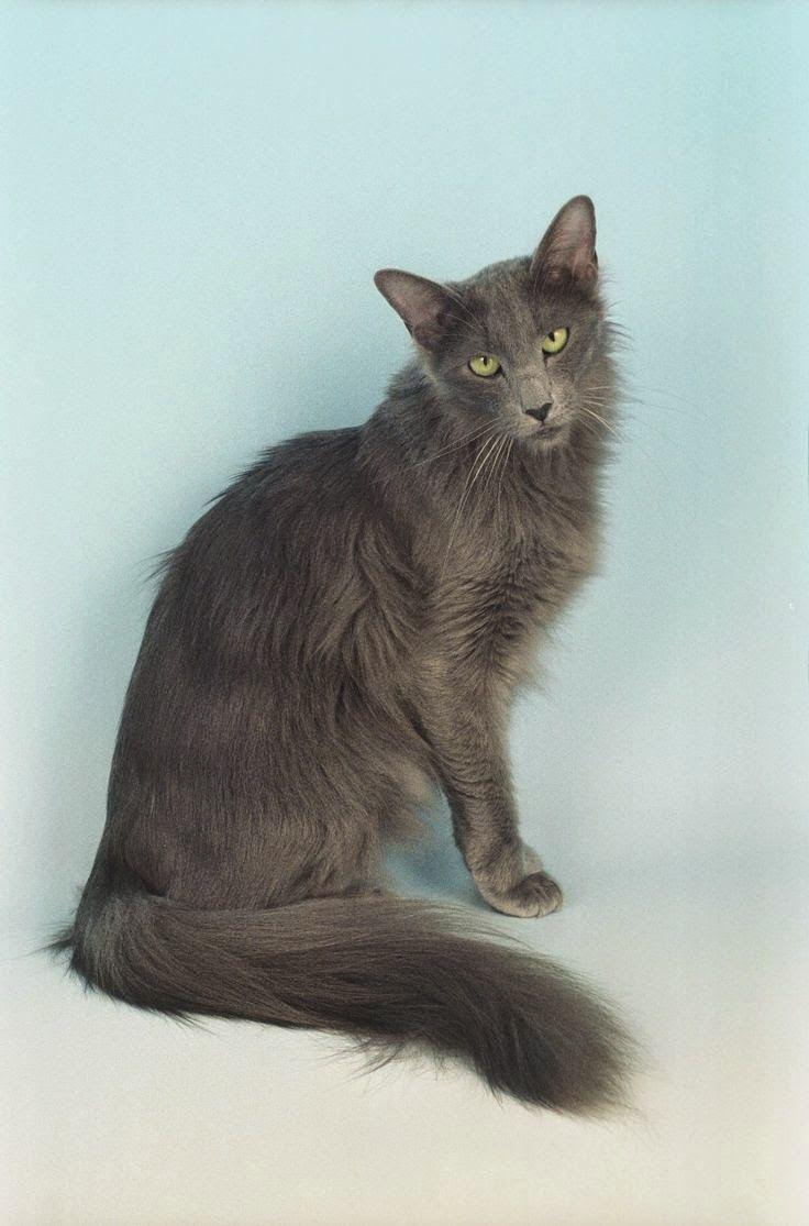 Mejores 21 imágenes de Gatos de raza en Pinterest | Gatitos, Gatos ...