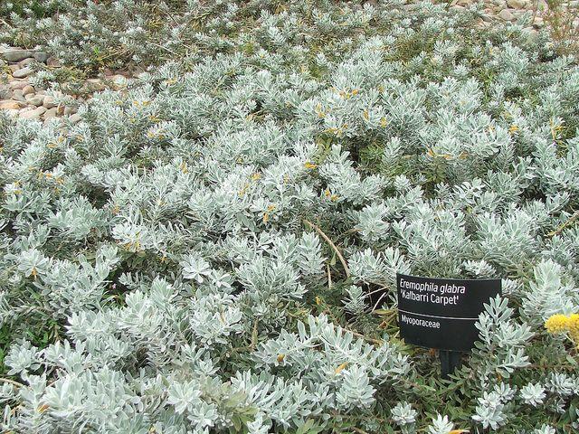 Eremophila glabra 'Kalbarri carpet'