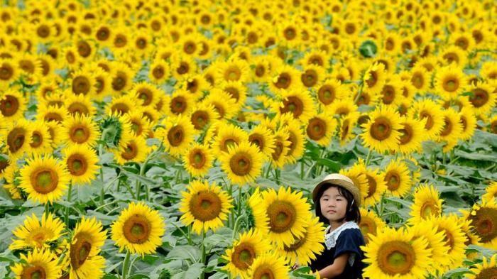 Sunflower Festival 2016 - Ada 1000 Bunga Matahari di Acara Ini, Mirip Lautan Warna Kuning