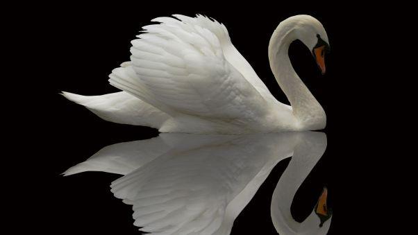 лебедь, птица, грация, красивый, оперение